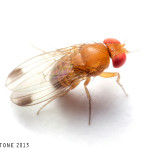 Male spotted wing drosophila. Image © Matt Bertone