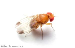 Male spotted wing drosophila. Image © Matt Bertone