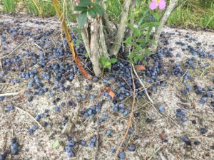 Cover photo for Blueberry Insect Monitoring Report, 23 June 2017